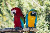 Two colorful laughing parrots. Horizontal close up portrait. poster