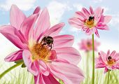 blumbees in a field of pink flowers collecting honey poster