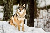 Gray wolf, Canis lupus, sitting and looking in camera with snow and forest in the background. Captive animals in Dyreparken, Kristiansand, Norway poster