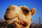 Cheeky and very inquisitive Arabian Camel Close-up poster