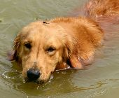 golden retriever swimming in muddy water with dragonfly on head poster