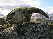Sheep skull found sitting on top of a granite rock in mixed woodland. poster