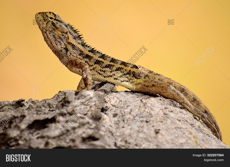 oriental garden lizard image & photo (free trial) | bigstock