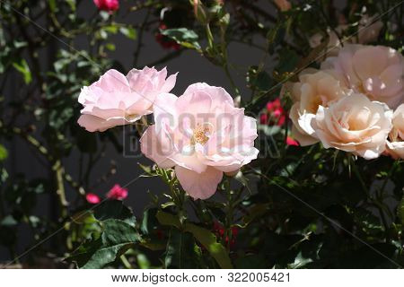 This Is An Image Of A Light Pink Rose Growing In A Carmel, California Rose Garden.