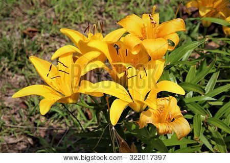 A Bouquet Of Tiger Lilies Against A Backdrop Of Green Grass On A Hot, Summer Day.