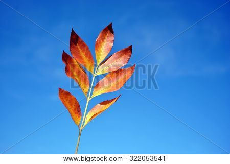 Fraxinus (european Ash) Yellow Leaf On Bright Blue Sky Background