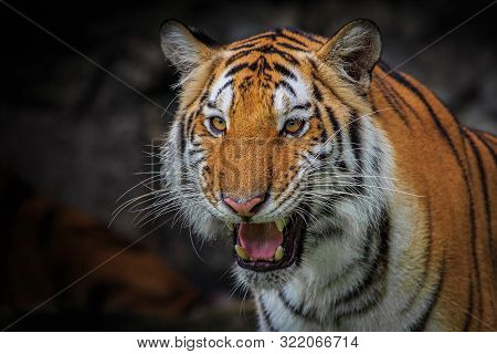 The Ferocious Face Of An Indochinese Tiger