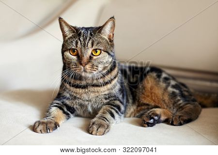 Beautiful British Short Hair Cat With Bright Yellow Eyes Lais On The Beige Sofa Looking With Great E