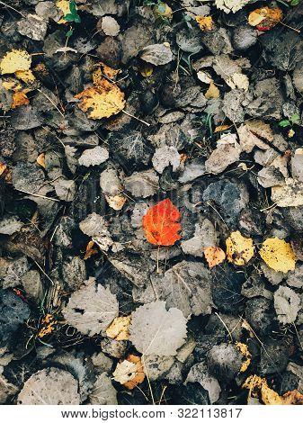 Autumn Leaves. Beautiful Fall Red Leaves On Dark Brown Ground In Forest, Top View. Autumnal Backgrou