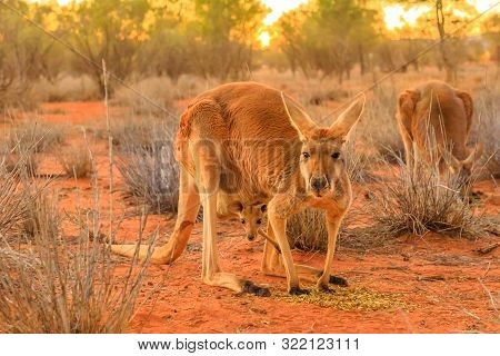 Red Female Kangaroo With A Joey In A Pocket, Macropus Rufus, On The Red Sand Of Outback Central Aust
