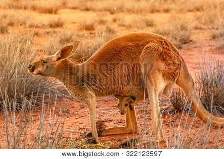 Side view of red kangaroo with a joey in a pocket, Macropus rufus, on the red sand of outback central Australia at sunset. Australian Marsupial in Northern Territory, Red Center. poster