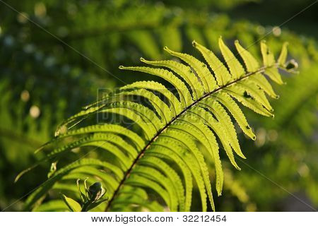 Ferns under the evening sun