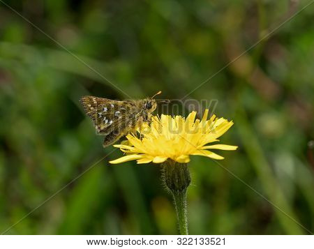 Silver-spotted Skipper Butterfly On Yellow Hawkweed On The South Downs In Sussex.