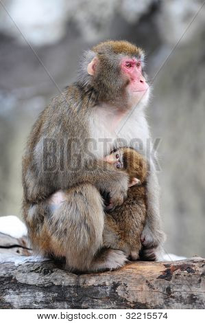 Mother and cub, winter. Japanese macaques. Group primacies.