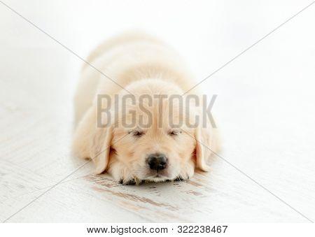 Retriever puppy sleeps and dreams calmly