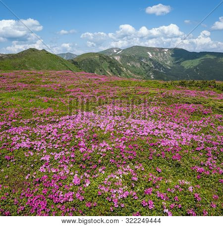 Blossoming Slopes (rhododendron Flowers ) Of Carpathian Mountains, Chornohora, Ukraine. Summer Lands