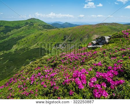 Blossoming Slopes (pink Rhododendron Flowers In Front ) Of Carpathian Mountains, Chornohora, Ukraine