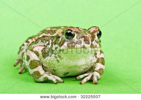 Bufo viridis. Green toad on green background. Studio macro shot.