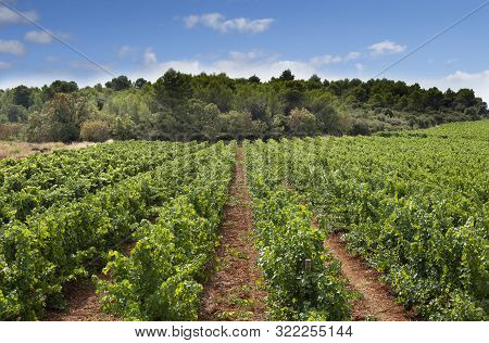 Vineyard With Grapes, Pinot Noir Growing In The Languedoc Region Of France, With Characteristic Red