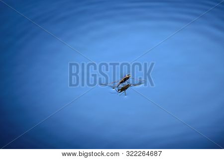 Water Strider Or Skater Standing On Surface Of Water
