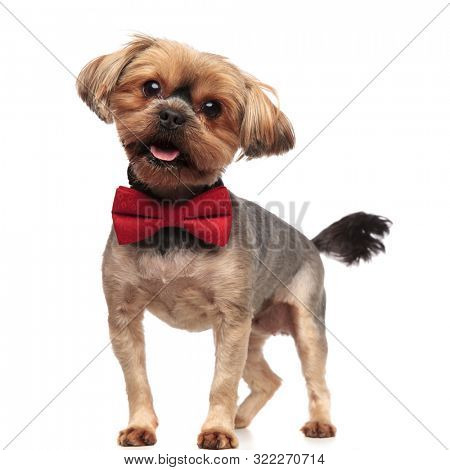side view of happy yorkshire terrier panting, sticking out tongue, wearing red bowtie, standing isolated on white background, full body