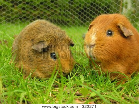 Two Guineapigs