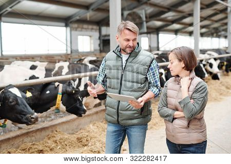 Confident male farmer with touchpad explaining colleague how to take care of new breed of dairy cows while moving along cowshed