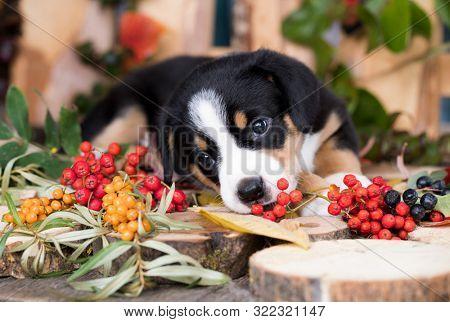 entlebucher mountain dog puppy eats berries