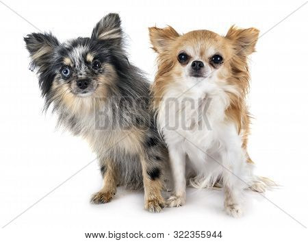 Young Pomeranian And Chihuahua In Front Of White Background