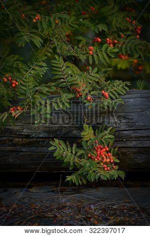 Natural Background With Rowan Branch And Old Logs