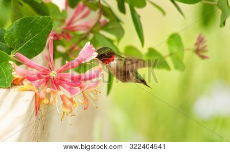 Ruby-throated Hummingbird male feeding on tubular pink flowers of Goldflame Honeysuckle in early summer