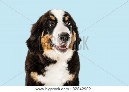Berner Sennenhund Puppy Posing. Cute White-braun-black Doggy Or Pet Is Playing On Blue Background. L