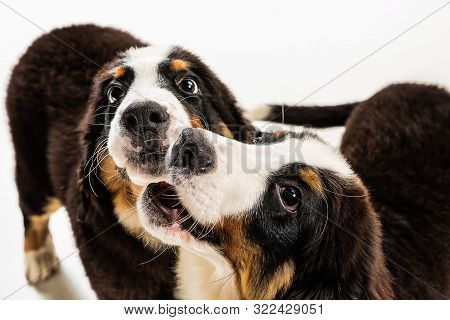 Berner sennenhund puppies posing. Cute white-braun-black doggy or pet is playing on white background. Looks attented and playful. Studio photoshot. Concept of motion, movement, action. Negative space. poster