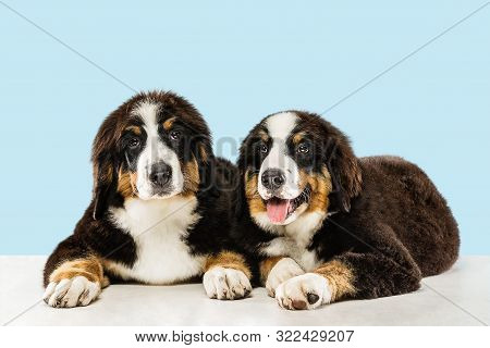 Berner Sennenhund Puppies Posing. Cute White-braun-black Doggy Or Pet Is Playing On Blue Background.