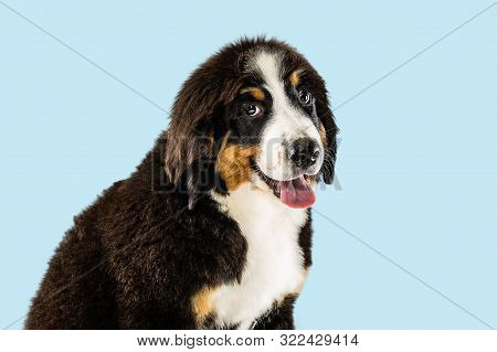 Berner sennenhund puppy posing. Cute white-braun-black doggy or pet is playing on blue background. Looks attented and playful. Studio photoshot. Concept of motion, movement, action. Negative space. poster