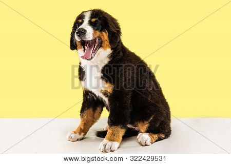 Berner sennenhund puppy posing. Cute white-braun-black doggy or pet is playing on yellow background. Looks attented and playful. Studio photoshot. Concept of motion, movement, action. Negative space. poster