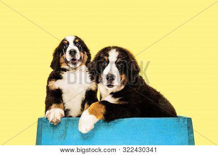 Berner Sennenhund Puppies Posing. Cute White-braun-black Doggy Or Pet Is Playing On Yellow Backgroun