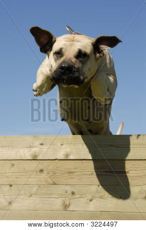 portrait of a beautiful jumping purebred dogo canario poster
