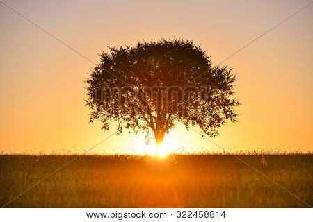 Alone tree and wheat field at sunrise