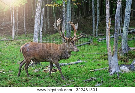 Red Deer Stag In Rutting Season. Buck At Maturity Age In The Period Of Crossing With The Female. Por