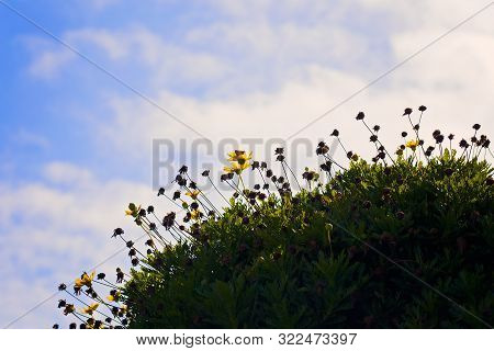Yellow Daisies Growing On A Field On A Hill With Blue Sky And Clouds Background