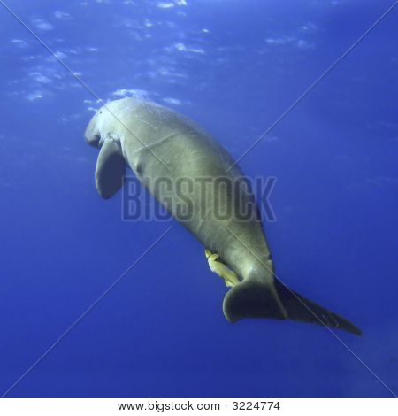 Dugong Surfacing