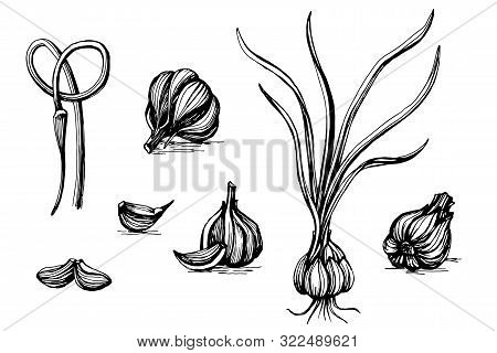 Hand Drawn Sketch, Pen And Ink Vintage Garlic Set Illustration, Draft Drawing, Black Isolated On Whi