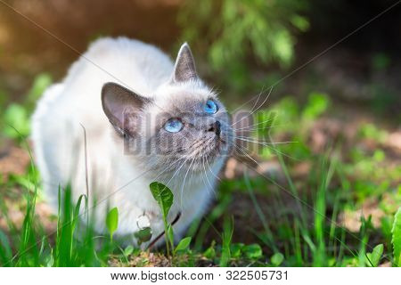 A Cat Sits On The Grass On A Summer Sunny Day In Partial Shade.