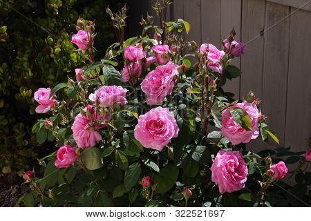 This Is An Image Of Roses Growing In Carmel, California.