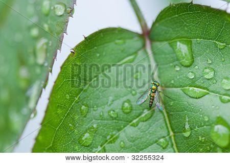 Green Long Legged Fly