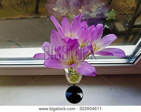 Beautiful Purple Crocuses In A Transparent Glass
