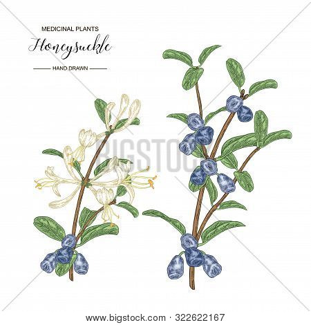 Honeysuckle Branch With Flowers And Ripe Berries. Lonicera Japonica. Medical Plants Hand Drawn. Vect