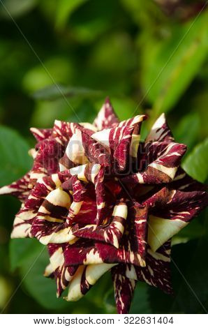 Beige And Dark Red Striped Rose In Front Of Bright Green Leafes