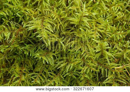 Green Lush Moss In The Forest As The Background Of The Picture. Bright Colorful Natural Texture Of M